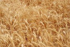 Free Wheat Field Stock Image - 1645571