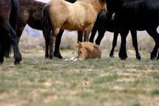 Free Foal Resting Royalty Free Stock Photography - 1646157