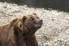 Free Grizzly Stock Images - 1646374