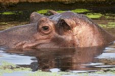 Free Hippo Stock Photos - 1646463