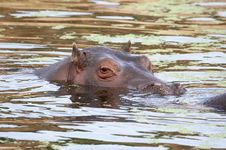 Free Hippo Royalty Free Stock Image - 1646466