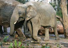 Free Elephant 8 Royalty Free Stock Photo - 1646505