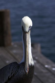 Free Pelican Royalty Free Stock Photography - 1646567