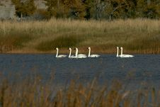 Free Swans On River Royalty Free Stock Photo - 1647095