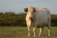 Free Cow Watching Stock Photos - 1647303