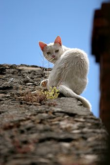 Free White Cat Stock Images - 1647784