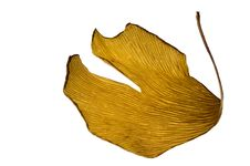 Free Herbs - Dried Ginkgo Biloba Leaf Royalty Free Stock Images - 1648349