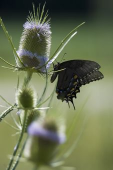 Free Swallowtail Butterfly Royalty Free Stock Photography - 1649077