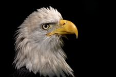 Free Eagle Portrait Royalty Free Stock Photos - 1649198