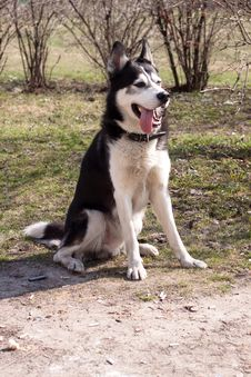 Free Sitting Husky Stock Photography - 16400322
