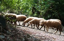 Free Sheeps Walking Away Royalty Free Stock Photography - 16400547