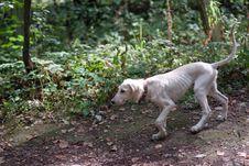 Free Walking Hound Stock Image - 16400591