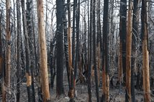 Free Charred Forest Stock Photo - 16400680