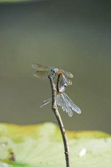 Free Dragonflies Stock Images - 16400794