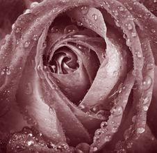 Free Rose Stock Photos - 16401193