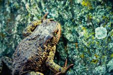 Big Toad On The Stone Stock Photo