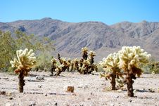 Free Desert And Cholla Trees Stock Image - 16402491