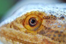 Free Bearded Dragon Eye Stock Photos - 16403573
