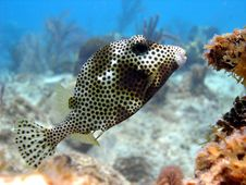 Free Smooth Trunk Fish Royalty Free Stock Photo - 16404795