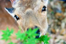 Free Deer In Nara Park (Japan) Royalty Free Stock Image - 16405566