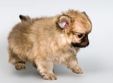 Free Puppy Of The Spitz-dog In Studio Royalty Free Stock Images - 16405899
