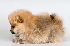 Free Puppy Of The Spitz-dog In Studio Stock Photos - 16405913
