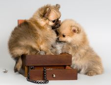 Free Puppies Lapdog With A Necklace Royalty Free Stock Photos - 16405918