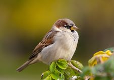 Free Sparrow In A Profile Stock Photography - 16406392
