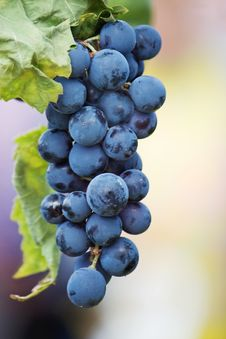 Free Black Grapes Vine Royalty Free Stock Image - 16406926