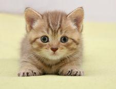 Free British Kitten Royalty Free Stock Photos - 16406968