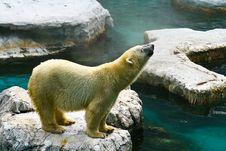 Free White Bear Royalty Free Stock Photo - 16407335