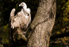 Free Griffon Vulture Royalty Free Stock Images - 16408479