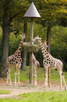Free Giraffes Royalty Free Stock Photos - 16408578