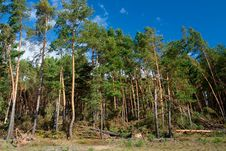 Forest After Hurricane Stock Photography