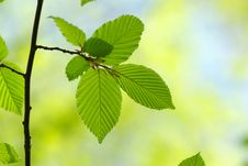 Free Green Leaves Royalty Free Stock Photos - 16409518
