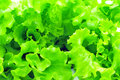 Free Bunch Of Fresh Green Salad Isolated Royalty Free Stock Images - 16410689