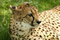 Free Resting Cheetah Royalty Free Stock Photos - 16417138
