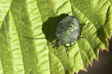 Free Green Stink Bug Royalty Free Stock Photo - 16410495