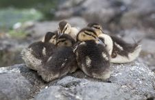 Baby Mallard Ducks Royalty Free Stock Images
