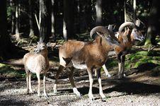European Mouflon (Ovis Orientalis Musimo)