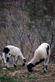 Free Two Sheeps Stock Photos - 16413273