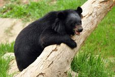 Free Asiatic Black Bear Stock Photography - 16413452