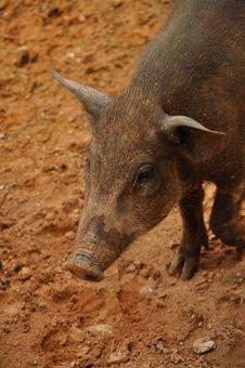Free Piglet Wildboar Stock Photo - 16413780