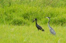 An Open-billed Stork And A Black-headed Heron Stock Images