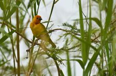 Free Gold Among The Green: Golden Weaver Royalty Free Stock Image - 16414366