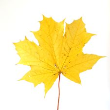 Autumn Maple Leaf Royalty Free Stock Images