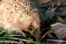 Free Hedgehog In Morning Forest Royalty Free Stock Photo - 16415675