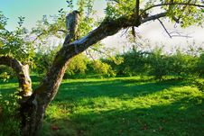 Free Green Orchard Royalty Free Stock Images - 16416089