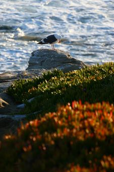 Seagull Cliff Royalty Free Stock Image