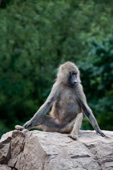 Free Single Baboon Monkey (Papio Cynocephalus) Royalty Free Stock Photo - 16417415